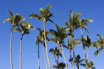 Palm trees evoke thoughts of beaches, warm weather and carefree vacation days.