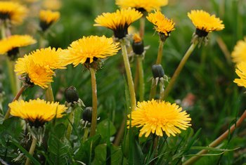 Dandelions can be controlled using common household ingredients.
