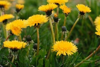 The yellow flowers of the dandelion, one of several weeds found in St. Augustine grass, make it easy to recognize.