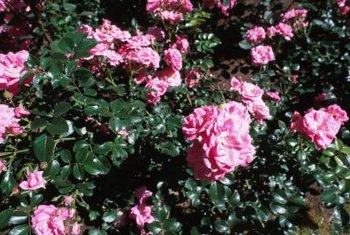 """Zephirine Drouhin"" produces clusters of loose, open pink roses with yellow centers."