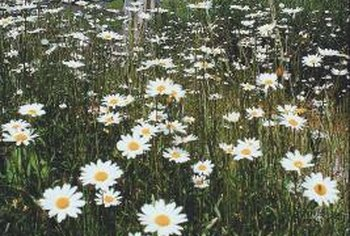Lawn daisies often grow wild in lawns and meadows.