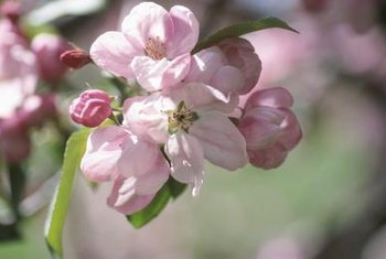 Apple blossoms are more easily damaged by freezes than buds.