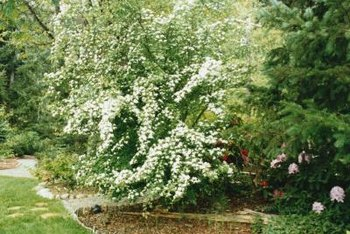 Pink, white or red, flowering weigela adds color to your garden.