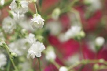 Baby's breath produces more flowers than foliage.