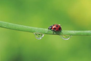 The ladybug is one of the beneficial insects killed by insecticides.