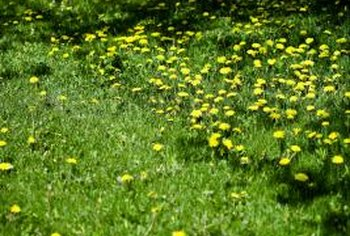 You can suppress dandelion growth either before or after you plant your lawn.