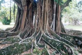 Large roots deliver most of a tree's nutrition and moisture.