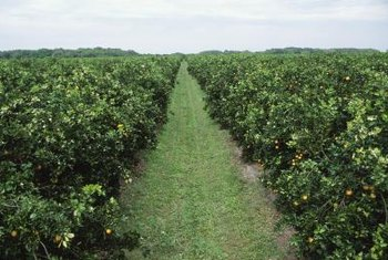 Fertilizer requirements for miniature citrus trees vary depending on the age of the tree.