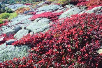Some flowering ground covers thrive on a rocky slope.