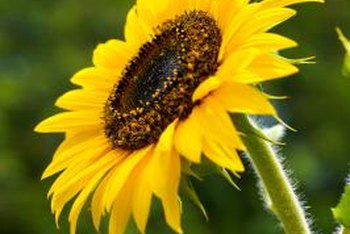 Sunflowers are pollinated by insects such as bees.