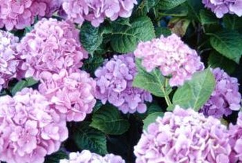 Hydrangeas bloom in pink, blue and white.