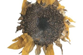Remove the sunflower head when the stalk has turned brown and lost petals.