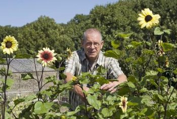 Mini or dwarf sunflowers range in height from less than 12 inches to 3 feet.