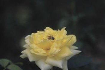 Insects on roses may be harmless in low numbers.