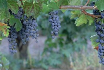 Some grapevines originate from a native American species.