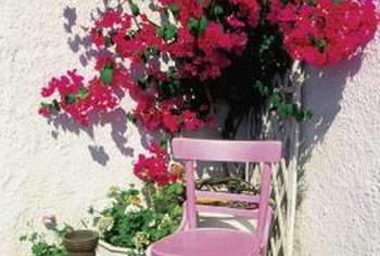 Bougainvilleas can be grown in containers and moved indoors for the winter in zone 8.