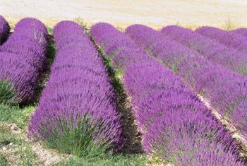 The perfume industry uses essential oil harvested from lavender flowers.