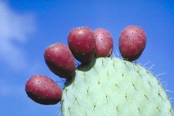 Edible fruits on the a pad of the prickly pear cactus.