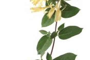 Japanese honeysuckle is considered invasive and should be avoided in the garden.