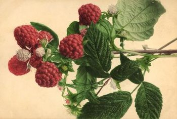 Raspberries are thorny bushes that produce luscious fruit.