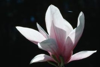 Grow magnolia trees at home with seed harvested from seed pods.