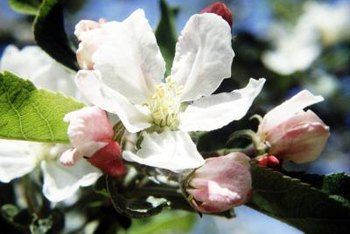 Spray your budding apple tree with ethylene spray to prevent it from fruiting.