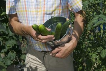 Vine cucumbers can grow vertically in hanging baskets.