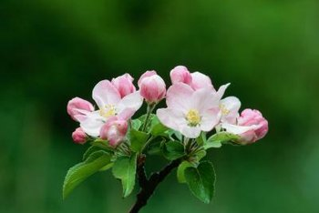 Apple blossoms must be pollinated to produce fruit.
