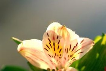 Lilies consist of a large variety of bulbous plants that vary in color, height and bloom time.