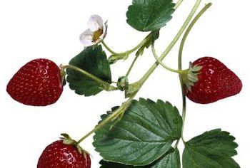 Bugs on strawberries can be harmful or beneficial.