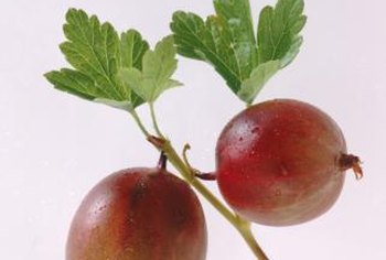 Many Native American tribes harvested gooseberries for food and medicinal uses.