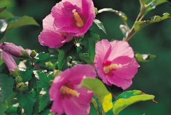 Hollyhocks produce pink, red, purple, yellow or white flowers.