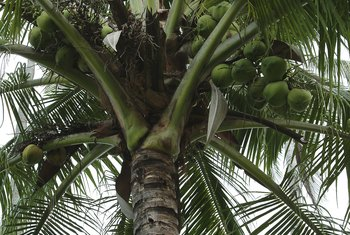 Coconut palms, given proper care, reliably produce fruit.