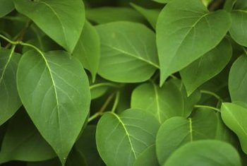 Plants need magnesium to develop healthy, green leaves.