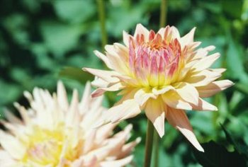 Add a dash of color to your backyard garden with a few chrysanthemum plants.