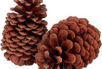 Large woody cones are common for all pine trees.