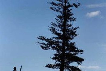 A pine reaches for the sky over Norfolk Island.
