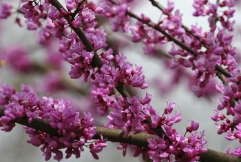 Redbuds bloom before their leaves unfurl.