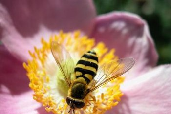 Bees pollinate flowers as they search the blooms for food.
