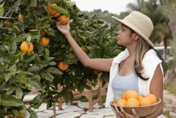 Backyard orchards have grafted citrus trees like commercial operations.