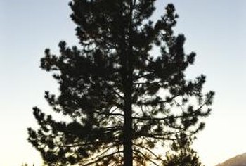 Pine trees can be the focal point in a large yard.