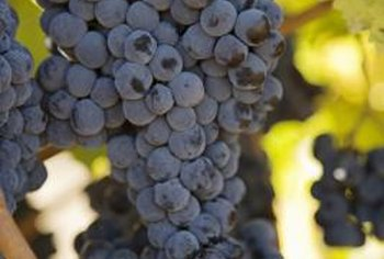 Ripe rot's late onset means grapes can appear healthy and robust until just before harvest.
