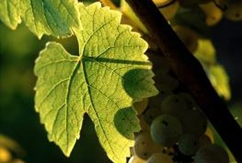 Most grapevines give you fruit in their third season.