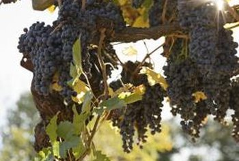 Grape vines are susceptible to several insect pests, which can be controlled with proper management..
