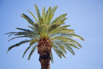 As its name suggests, the Canary island date palm is native to the Canary Islands.
