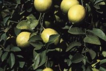Pesticide sprays keep damaging insects and diseases off lemon trees.