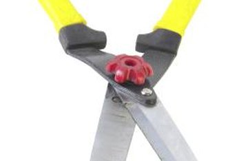 Manual hedge shears allow more control when pruning privet than powered hedge shears.