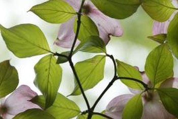 Dogwood blossoms' colorful bracts outshine their true central flowers.
