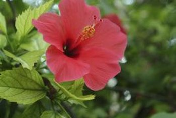 Hibiscus belongs to the mallow family, Malvaceae.
