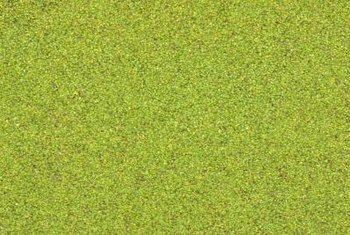 Floating duckweed has few culture and care requirements and can spread quickly with little encouragement.